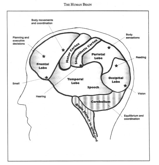 The human brain in a nutshell better students if we split a human brain down the middle wed find two identical halves or hemispheres each side serves different functions and controls different areas ccuart Images